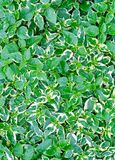 Background of Caricature or Graptophyllum Pictum Plants. Background and Textured, Beautiful Caricature or Graptophyllum Pictum Plants with Green and White Leaves stock photography
