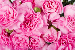 Background carnations Royalty Free Stock Photography