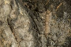 Caterpillar bug. Background Caterpillar bug bark wood of mango tree Royalty Free Stock Photo