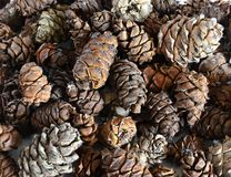 Background of cedar cones Royalty Free Stock Photography