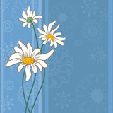 Background with chamomile flowers Royalty Free Stock Images
