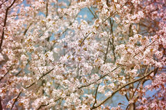 Background cherry blossoms Royalty Free Stock Photos