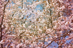 Background cherry blossoms Royalty Free Stock Images