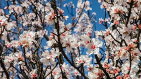 Background of cherry blossoms moving with the breeze. On a warm and sunny spring day stock video footage
