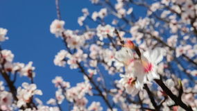 Background of cherry blossoms moving with the breeze. On a warm and sunny spring day stock video