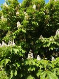 Chestnut flowers. Background with chestnut flowers among green leaves stock images