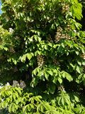 Chestnut flowers. Background with chestnut flowers among green leaves stock image