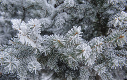 Background of Christmas firs frost Stock Photos