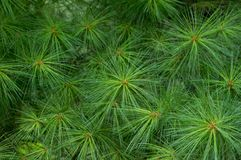 Bright Green Pine Needles. A background for Christmas of green pine needles Royalty Free Stock Images