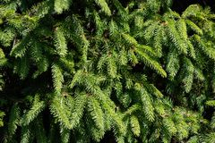 Background of Christmas tree branches royalty free stock photo