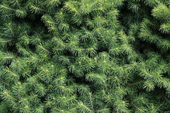 Background of Christmas tree branches. Fir tree branch Stock Image