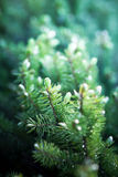 Background of Christmas tree branches. Fir tree Royalty Free Stock Photos