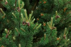 Background of Christmas tree branches Royalty Free Stock Images