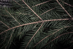 Background of Christmas tree branches. tinted Royalty Free Stock Photo