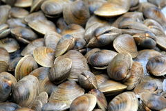 Background of clams, still in shells,displayed at market Stock Photos