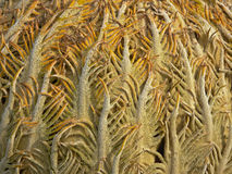 Background: close-up of Cycad cone (cycas revoluta) Royalty Free Stock Images