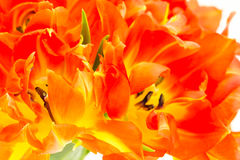 Background close up of parrot tulips Royalty Free Stock Photography