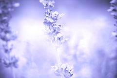 Background from close up Sage plant (lat. Salvia Officinalis) Stock Image