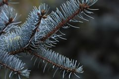 Background closeup of blue spruce, needles, buds on a twig. royalty free stock photo