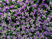 A background of lots of bright mauve Hebes blooms. Stock Photos