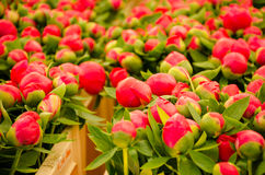 Background closeup of unopened buds red peonies. Royalty Free Stock Images
