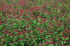 Background-clover field Royalty Free Stock Image