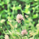 Background with a clover flower Royalty Free Stock Photos