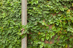 Background of Coatbuttons (Ficus pumila) on the wall. Royalty Free Stock Photos
