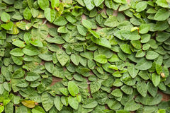 Background of Coatbuttons (Ficus pumila) on the wall. Stock Image