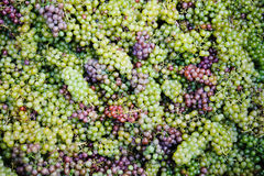 Background with grapes. Background with color grapes. Grapes are purple, green and blue. Complete filling of the frame Stock Images