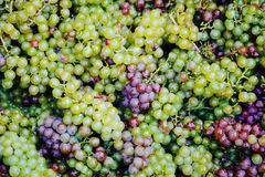 Background with grapes. Background with color grapes. Grapes are purple, green and blue. Complete filling of the frame Stock Image