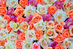 Background of colored roses Stock Images