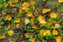 Background of colored wet autumnal leaves at morning stock images