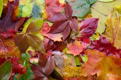 Background of colored wet autumnal maple leaves in a morning. Background of colored wet autumnal maple leaves Royalty Free Stock Photos