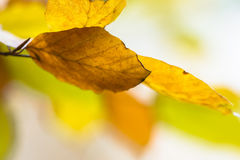Background of colorful Autumn leaves of Beech Stock Photo