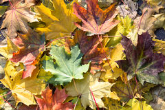 Background of colorful autumn leaves . Stock Images