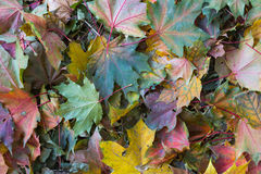 Background of colorful autumn  leaves . Stock Image