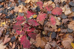 Background of colorful autumn leaves Royalty Free Stock Photo