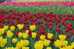 Background of colorful blooming Tulip flowers Stock Photo