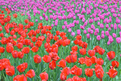 Background of colorful blooming Tulip flowers Royalty Free Stock Photos