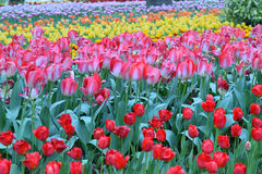 Background of colorful blooming Tulip flowers Stock Photography