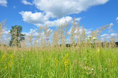 A background with a colorful bright meadow grass with blue sky and clouds background. A meadow is composed of grasses and wildflow Stock Photos