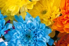 Background of colorful chrysanthemum flowers, blue, yellow, orange. Close up Royalty Free Stock Images