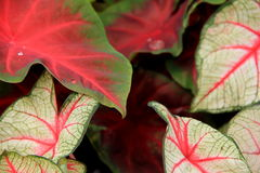 Background of colorful Coleus plants Stock Images