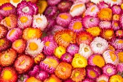 Background of colorful everlasting flowers.Thailand. Background of colorful everlasting flowers.Thailand Stock Photography