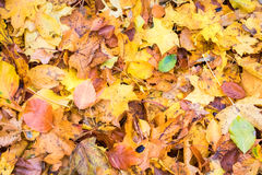Background from colorful fallen beech and maple leaves Royalty Free Stock Image