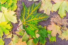 Background of colorful fallen maple leaves on asphalt Stock Photos