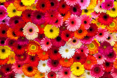 Background of colorful gerbera flowers. Carpet of flowers Royalty Free Stock Image
