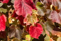 Background of colorful grape leaves at autumn Royalty Free Stock Photography