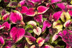 Coleus leaves, Background of colorfully leaves, Colored leaves on a bush. Background of colorfully leaves, Colored leaves on a bush Stock Image